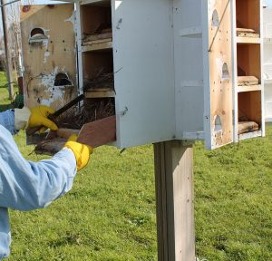 Cleaning-purple-martin-houses-3